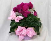 Cyclamen in Grand Rapids MN, Shaw Florists
