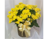 Begonia- Yellow in Grand Rapids MN, Shaw Florists
