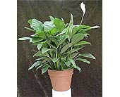 Peace Lily - Potted in 12 in Huntington WV, Spurlock's Flowers & Greenhouses, Inc.