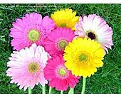 Flower Market Special - Gerbera Daisies in Timmins ON, Timmins Flower Shop Inc.
