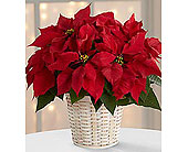 Red Poinsettia in New Glasgow NS, McKean's Flowers Ltd.