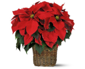 Large Red Poinsettia in New Glasgow NS, McKean's Flowers Ltd.
