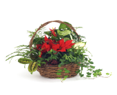 Poinsettia - Anthurium - and T in Grimsby ON, Cole's Florist Inc.