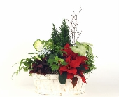Winter Cypress and Poinsettia in Grimsby ON, Cole's Florist Inc.