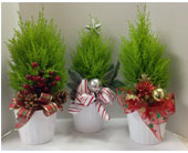 Lemon Cypress Plants in Meriden CT, Rose Flowers & Gifts