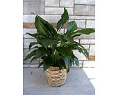 Peace Lily (medium) in Muskegon MI, Wasserman's Flower Shop