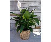 Peace Lily (large) in Muskegon MI, Wasserman's Flower Shop