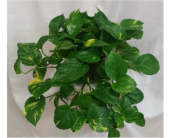 Pothos in Grand Rapids MN, Shaw Florists