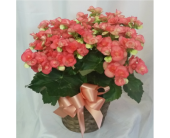 Begonia- Pink in Grand Rapids MN, Shaw Florists