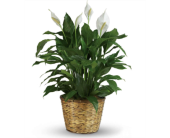 Peace Lily in a Basket in Perrysburg & Toledo OH  OH, Ken's Flower Shops