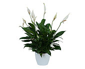 Peace Lily Plant in White Ceramic Container in Metairie LA, Villere's Florist