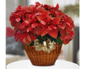 Poinsettia  Plant  in San Clemente CA, Beach City Florist