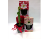 Potted Amaryllis in Belleville ON, Live, Love and Laugh Flowers, Antiques and Gifts