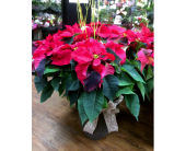 Large Red Poinsettia (x4) in Belleville ON, Live, Love and Laugh Flowers, Antiques and Gifts