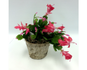 4 Christmas Cactus in Belleville ON, Live, Love and Laugh Flowers, Antiques and Gifts