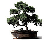 Bonsai in Guelph ON, Monte's Place