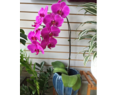 Purple Phalaenopsis  Orchid, picture