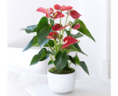 Majestic Red Anthurium, picture