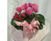 Cyclamen- Pink in Grand Rapids MN, Shaw Florists