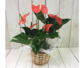 Anthurium   in Boise ID, Hillcrest Floral