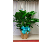 Turquoise Plant in Katy TX, Kay-Tee Florist on Mason Road