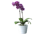 Double Orchid in Needham MA, Needham Florist
