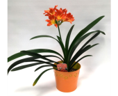 Clivia Minata in Belleville ON, Live, Love and Laugh Flowers, Antiques and Gifts
