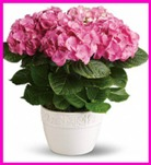 Happy Hydrangea - Pink in Hamilton ON, Joanna's Florist