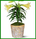 Easter Lily Plant in Hamilton ON, Joanna's Florist