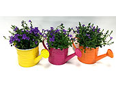 Campanula Watering Can in Belleville ON, Live, Love and Laugh Flowers, Antiques and Gifts