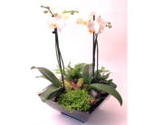 Orchid Dreams in Grimsby ON, Cole's Florist Inc.