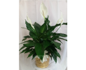 Peace Lily- Premium in Grand Rapids MN, Shaw Florists