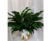 Peace Lily- Standard in Grand Rapids MN, Shaw Florists