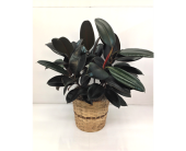 Rubber Plant 8'' in Smyrna GA, Floral Creations Florist