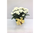 Daisy Plant in Smyrna GA, Floral Creations Florist