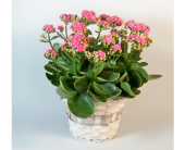 Kalanchoe in Temple, Texas, Precious Memories
