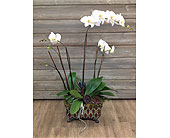 Premium Orchid Planter  in Smyrna GA, Floral Creations Florist