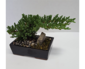 Juniper Bonsai in Frisco TX, Patti Ann's Flowers