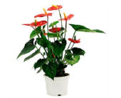 Anthurium Plants in Largo FL, Rose Garden Florist