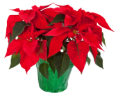 Poinsettia in Kelowna BC, Burnetts Florist & Gifts