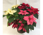 POINSETTIA:  Red, White & Pink in Philadelphia PA, Schmidt's Florist & Greenhouses