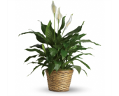 Spathiphyllum in Neenah, Wisconsin, Sterling Gardens