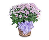 Lavender Chrysanthemum Basket in Methuen MA, Martins Flowers & Gifts