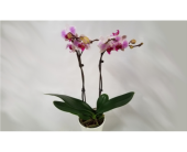 Phalaenopsis Orchid Plant in Mount Horeb WI, Olson's Flowers