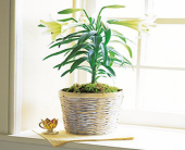 Potted Easter Lily in Bellevue WA, CITY FLOWERS, INC.