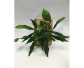 Staghorn Fern Wall Hang in Belleville ON, Live, Love and Laugh Flowers, Antiques and Gifts