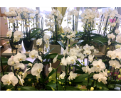 Potted Orchids - Designers Choice in Belleville ON, Live, Love and Laugh Flowers, Antiques and Gifts