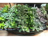 Individual Succulents in Belleville ON, Live, Love and Laugh Flowers, Antiques and Gifts