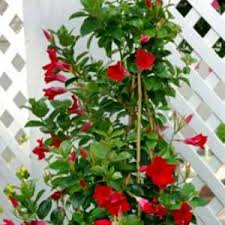 Mandavilla_Red-Read Discription in Concord NC, Pots Of Luck Florist