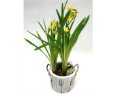 Garden Daffodils in Belleville ON, Live, Love and Laugh Flowers, Antiques and Gifts